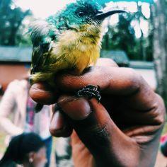 Bird Ringing with Arocha Kenya